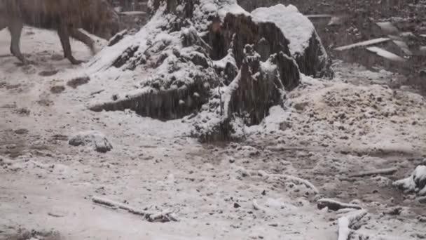 Vlci v zimě, stádní chování v zasněženém lese na sněhu, na mrazu, když jsou napjatí, očištěni videem denoise.