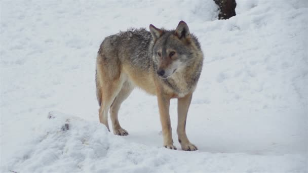 Vlci v zimním období, balení chování ve sněžném lese, na mráz, když se stanou napjaté, očistit s video denoiser, zpomalení pohybu.