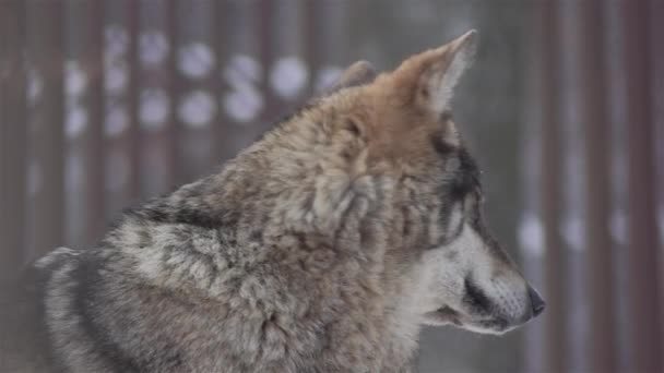 Wolves in the winter time, pack behavior in the snowy forest, on frost when they become tense,cleaned up with video denoiser, slow motion.