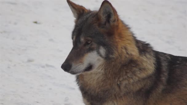 Farkasok télen, csomagolt viselkedés a havas erdőben, a fagy, amikor válnak feszült, megtisztított video visszaszámláló, lassított felvétel.