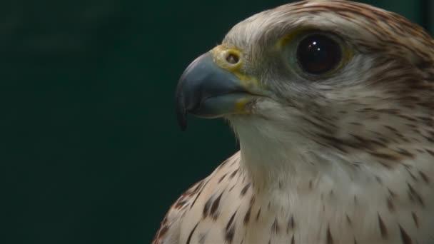 Falkenporträt aus nächster Nähe