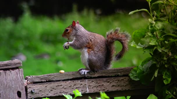 Eastern gray squirrel eating seeds in the park St James in London, portrait shot. Green spring forest background, real time,4k,ultra hd