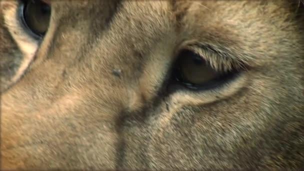 Lassú mozgás a felnőtt oroszlán egy fa törzs pihenő
