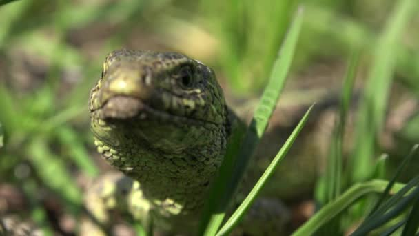 Detail frame with a lizard who hides in grass on a sunny day, real time,4k, close-up.