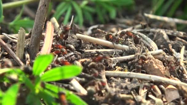 Ants using twigs to build an ant hill, hd