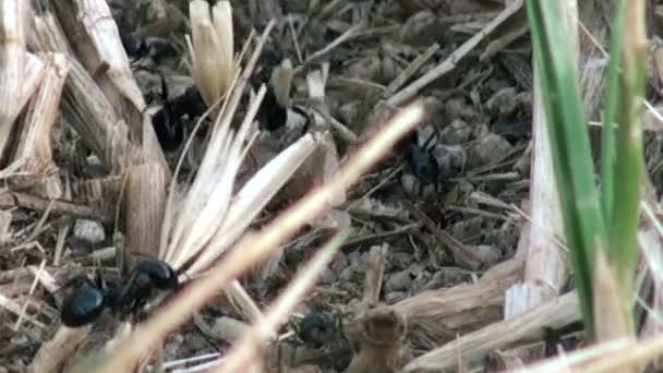 Mravenci pomocí větvičky vybudovat mraveniště, hd
