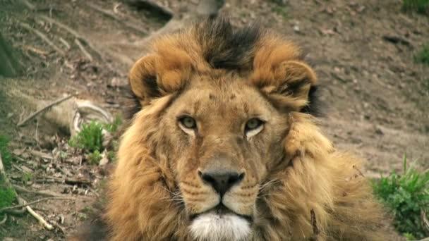 Lev na stromu kmen odpočívá, hlava lva