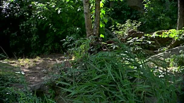 Bengáli tigris (Panthera tigris tigris) sétál a zöld erdőben
