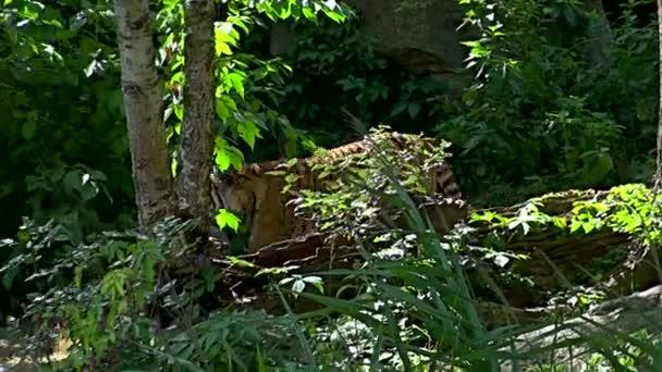 Camminare nella foresta verde della tigre del Bengala (Panthera tigris tigris)