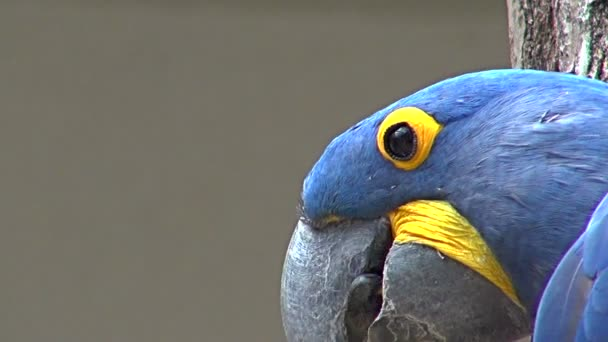 Parrot, macaw blue head close-up