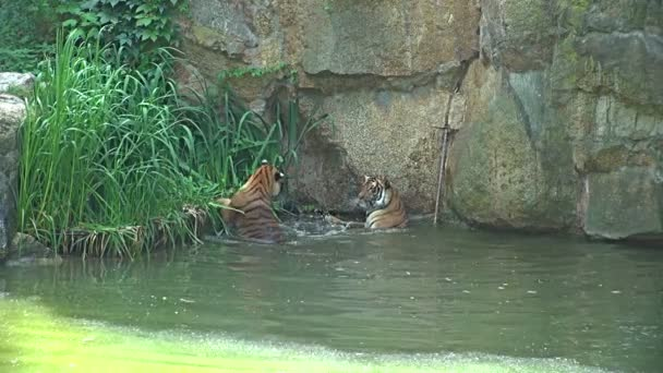 Bengal Tiger (Panthera tigris tigris) cooling down in water