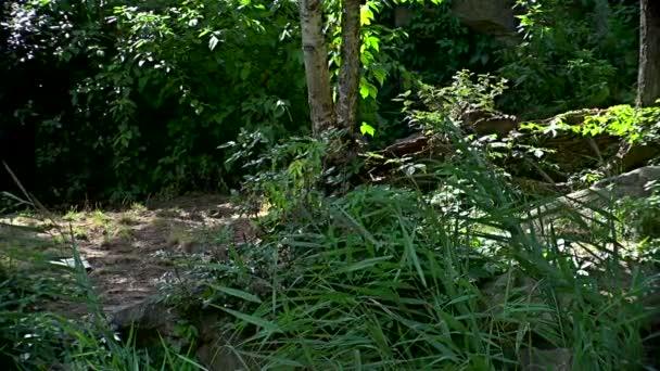 Bengaltiger (Panthera tigris tigris) beim Wandern im grünen Wald
