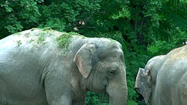 Ázsiai elefánt (Elephas maximus), a Dél- és Délkelet-Ázsia
