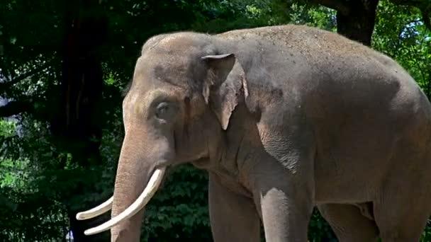 Slon (indický Elephas maximus) Jižní a jihovýchodní Asie