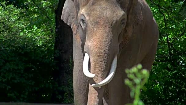 Asian elephant (Elephas maximus) of South and Southeast Asia