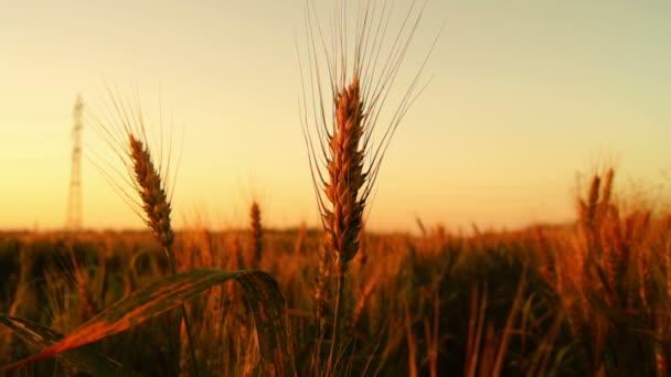 Búza naplementekor. Gyönyörű búzacsúcsok a lenyugvó nap ellen. Gyengéd szellőt fúj..