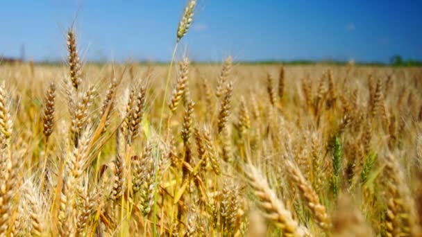 Golden wheat in june, real time hd