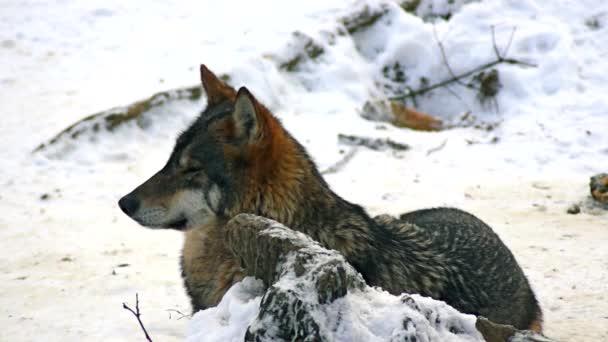Farkasok játszani, és mozgassa át egy erdős területen téli