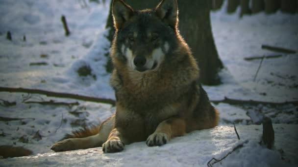 Farkas portré pihenhetnek az erdőben