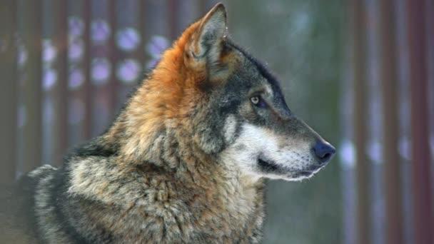 Vlk portrét relaxovat v lese