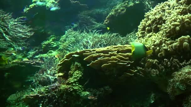 Sasanka a žlutoploutvého clown ryb a několik dalších druhů plavání kolem a krmení. reálném čase, 4k, ultra hd