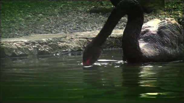 Black swan attacking and play a frog in water, real time,