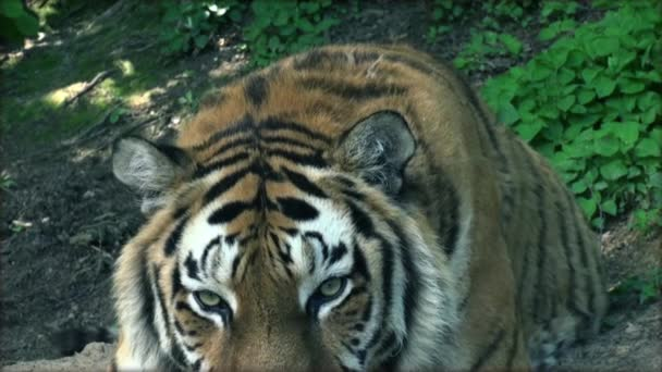 siberian tiger relaxing in the forrest