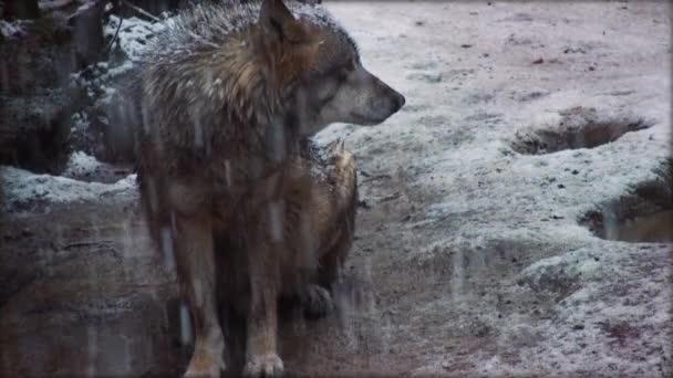 vlci procházet zalesněné oblasti v zimě