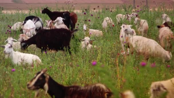 Herd of goats on green wild field.4k,ultra hd,real time,