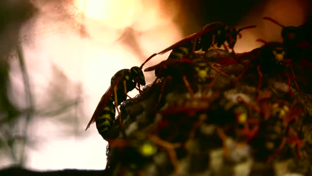 ULTRA HD 4K, real time shot, close up of The European hornet (Vespa crabro) is the largest eusocial wasp in Europe and the largest vespine in North America.