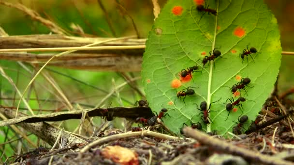 ULTRA HD 4K real time shot,wild red ants build their anthill