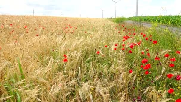 Větrné turbíny - pšeničné pole - mák Květiny, 4k, ultra hd, reálném čase