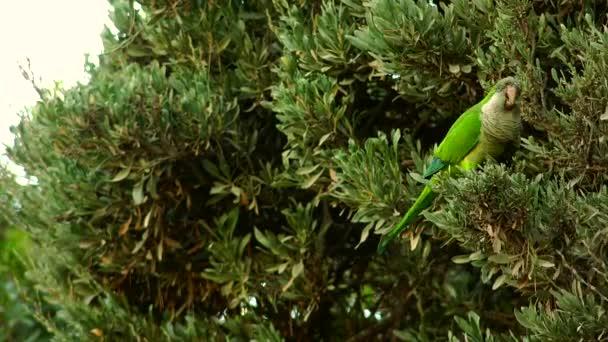Mnich Parakeet (Myiopsitta monachus) v Barceloně, v Park Guell, Španělsko, Ultra HD 4k, reálný čas