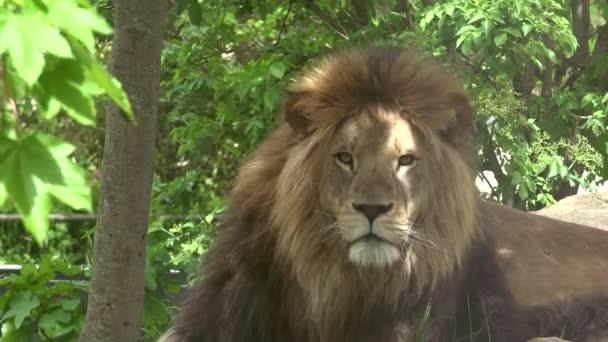 Ultra HD 4k skutečný čas; Blízký majestátně mužského lva