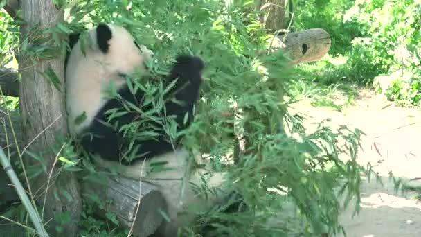 ULTRA HD 4K, real time, zooming; Giant panda bear eating bamboo