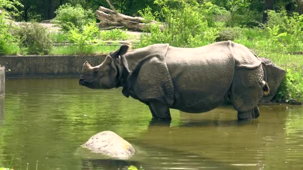 ULTRA HD, 4k,White (square-lipped) rhinoceros (Ceratotherium simum) drinking water, real time
