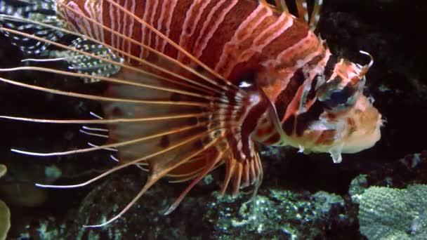 Lví ryba mezi pestrobarevné malé rybky v korálovém útesu pod vodou, 4k, Ultra HD, reálný čas