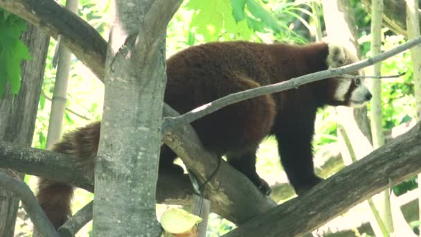 ULTRA HD 4K, real time shot,Red panda in the trees