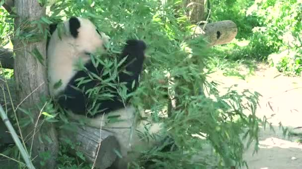 ULTRA HD 4K, real time, zooming; Giant panda bear eating bamboo