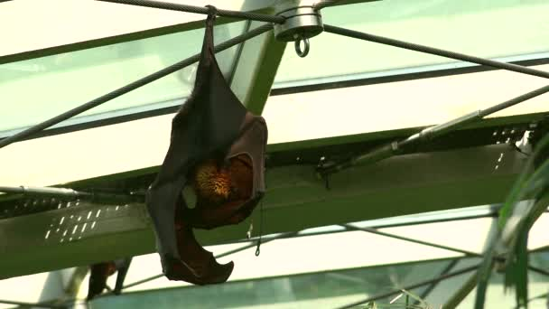 The Indian flying fox (Pteropus giganteus), also known as the greater Indian fruit bat, is a species of flying fox. It is nocturnal and feeds on ripe fruits, such as mangoes and bananas,and nectar. Ultra hd 4k, real time, zoom