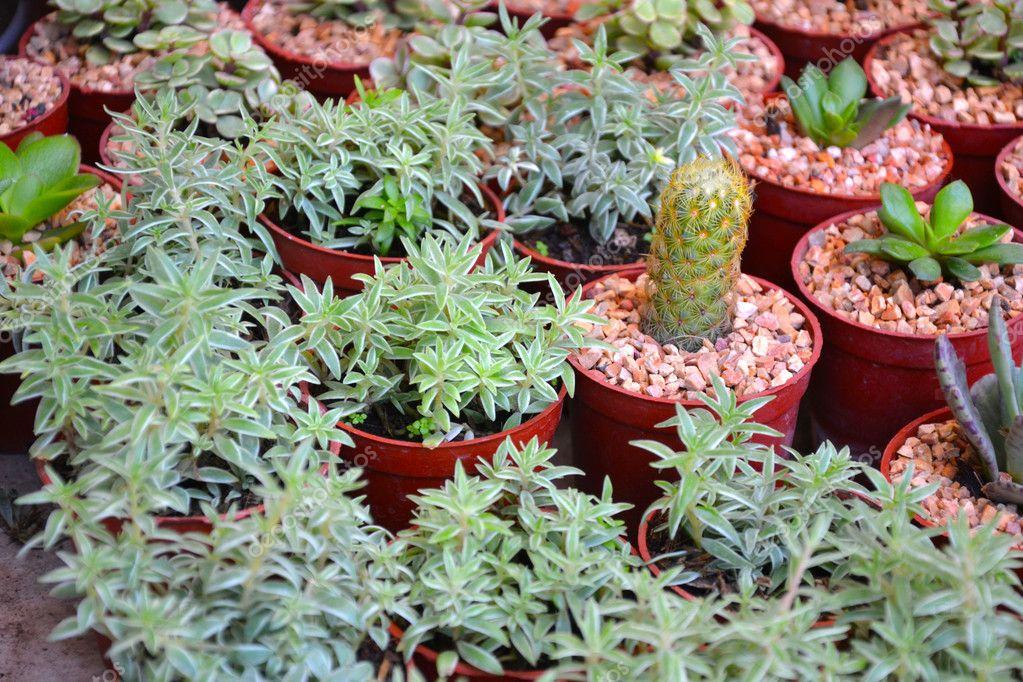 Cactus is  Cereus hexagonus
