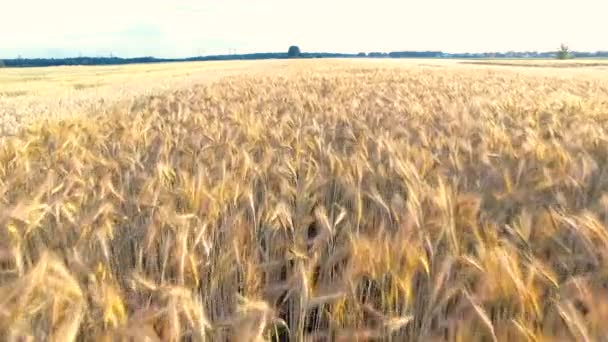 Flying Over The Wheat And Corn