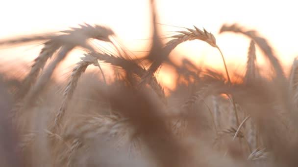 Búza és kukorica naplemente