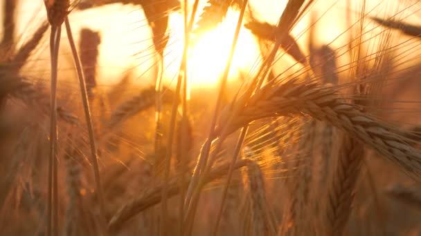 Wheat And Corn Sunset