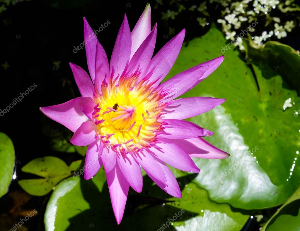 Purple Lotus Flower With Yellow Pollen And Bees Inside Stock Photo