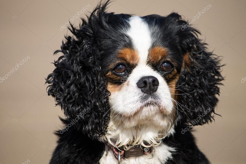 Cavalier King Charles Spaniel Ras Van De Hond Stockfoto