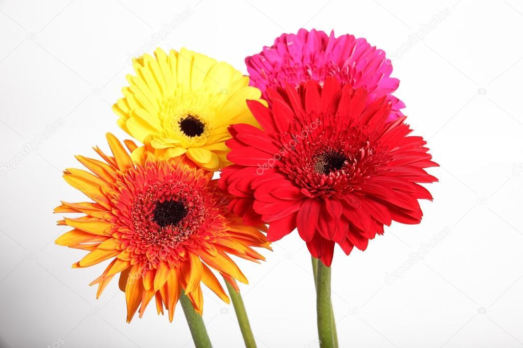 Gerbera Blume im weißen Hintergrund isoliert — Stockfoto © bowling ...