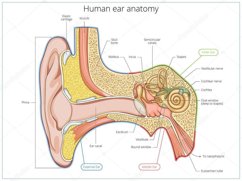 Human ear structure medical educational vector stock vector human ear structure medical educational vector stock vector ccuart Gallery