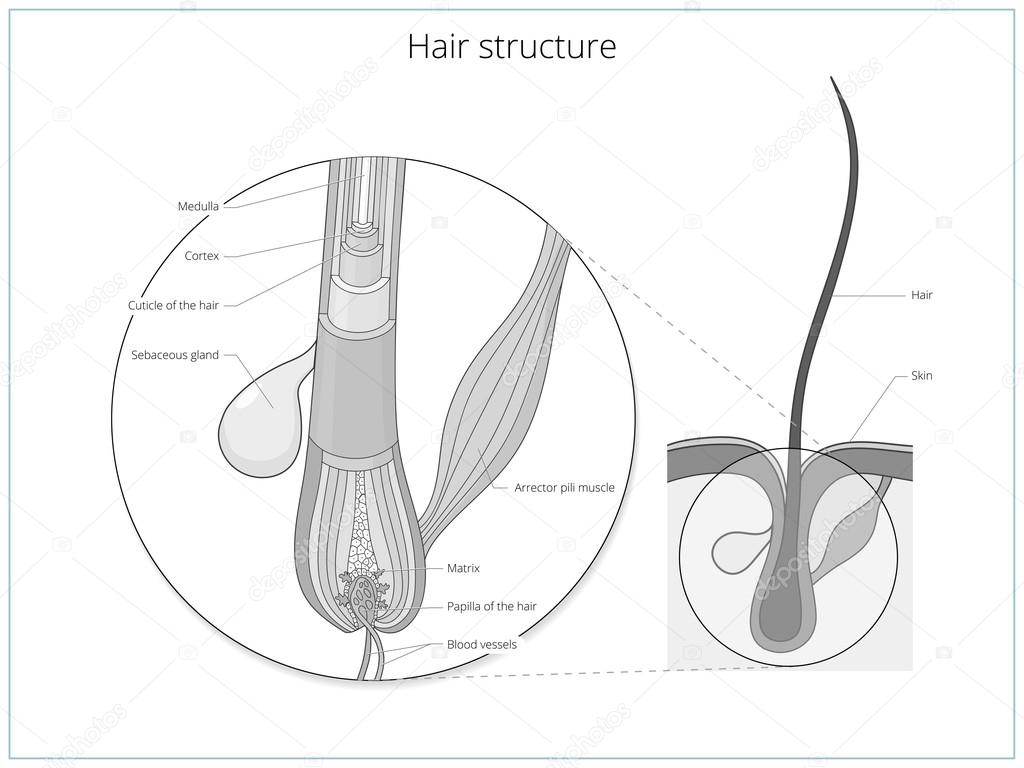 Hair structure medical educational vector — Stock Vector ...