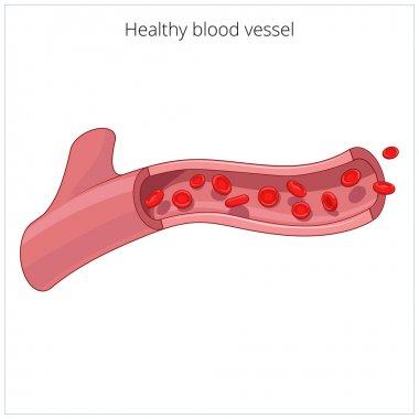 Healthy blood vessel vector illustration